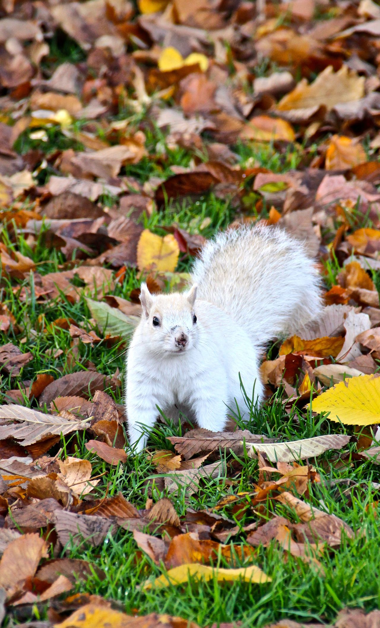 Animal Animal Themes Animals In The Wild Boston Boston Common Close-up Day Eastern Gray Squirrel, Eastern Grey Squirrel Full Length Grass Grey Squirrel Leaf Mammal Massachusetts Mutant Mutation Nature No People One Animal Outdoors Sciurus Carolinensis United States White Morph