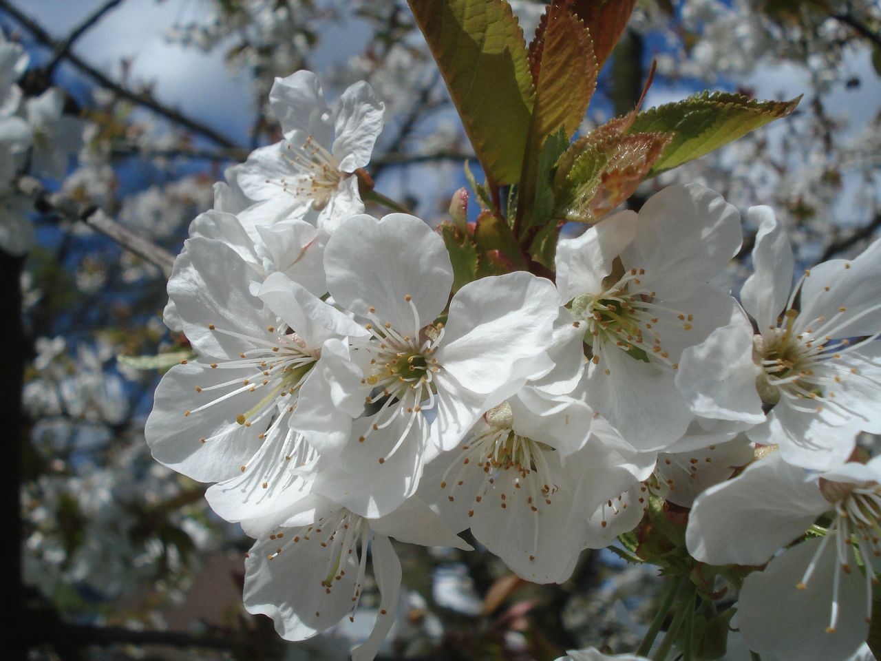 flower, white color, fragility, blossom, beauty in nature, growth, petal, nature, botany, springtime, apple blossom, tree, freshness, branch, stamen, flower head, close-up, orchard, no people, day, pollen, outdoors, blooming