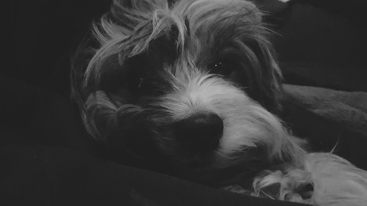 Showcase: February Yorkie Bieweryork Biewer Yorkshire Terrier EyeEm Bnw Bnw_captures Samsung Galaxy S6 Mobilephotography Androidonly Dog Portrait Animals