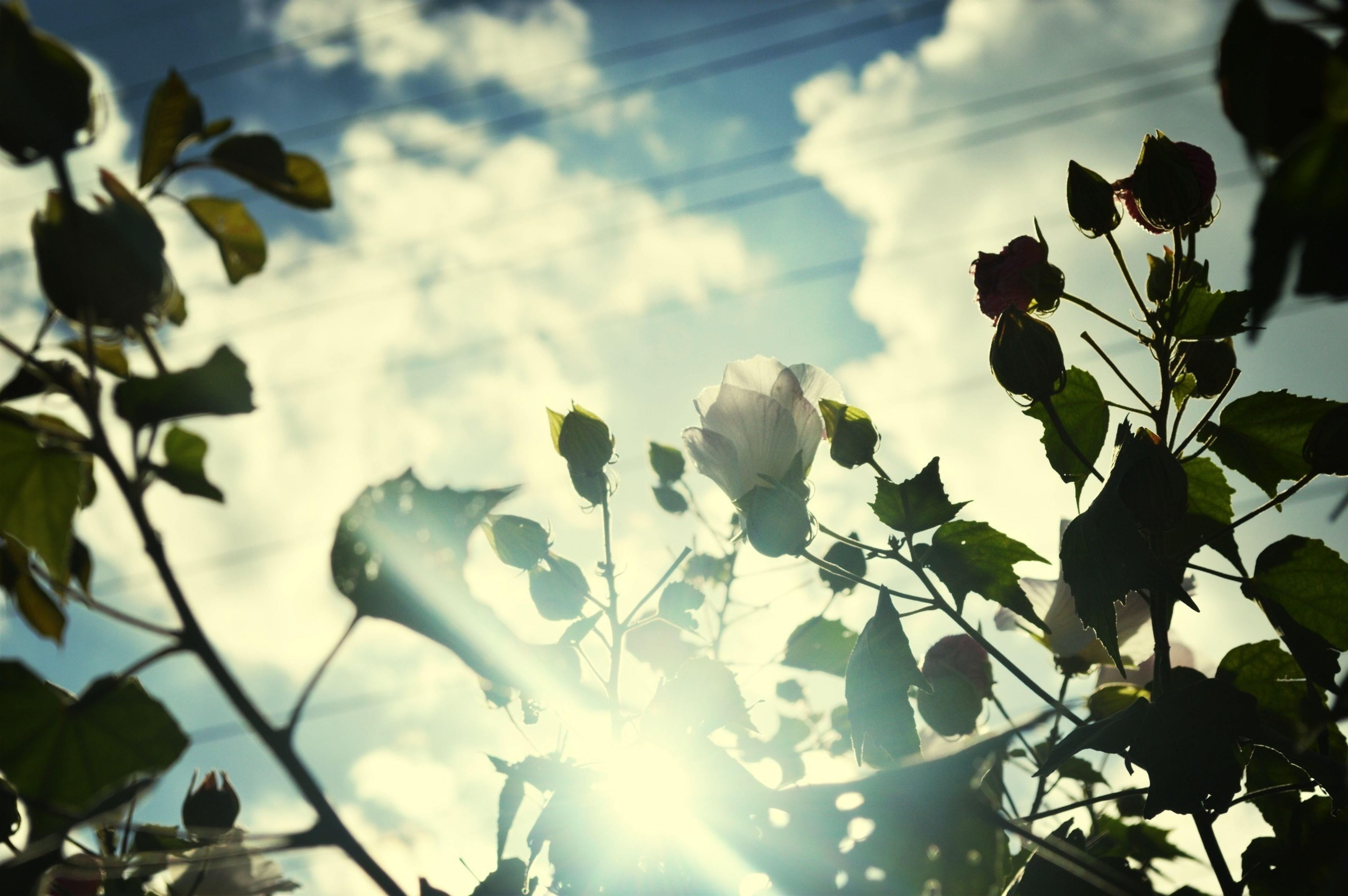 leaf, growth, low angle view, flower, sky, nature, freshness, beauty in nature, plant, sunlight, fragility, sun, branch, tree, sunbeam, close-up, petal, day, outdoors, cloud - sky
