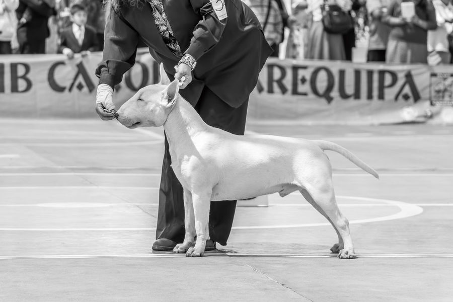 Black & White Black And White Blackandwhite Bullterrier Cute Pets Dog Street Photography Streetphoto_bw Streetphotography B&w Street Photography Monochrome Photography