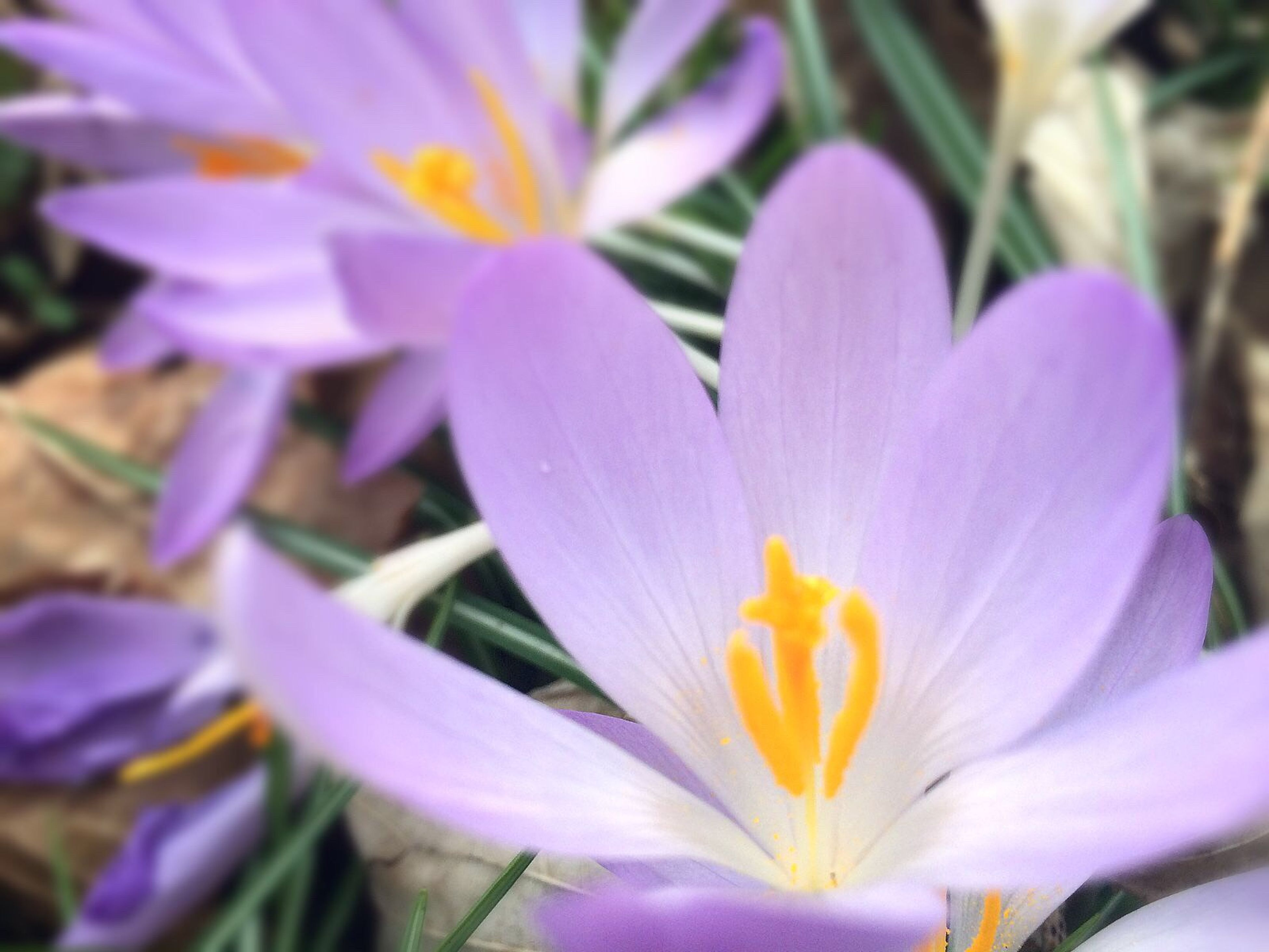 flower, petal, freshness, flower head, fragility, beauty in nature, purple, growth, close-up, blooming, pollen, nature, plant, stamen, in bloom, focus on foreground, pink color, yellow, selective focus, outdoors