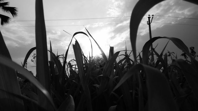 Blackandwhite Photography Bnw_friday_eyeemchallenge EyeEm Gallery EyeEm Nature Lover EyeEm Best Shots - Black + White Nature Scenics Field Farmland Beauty In Nature Mobile_photographer At My Farm Global Photographer-Collection Learning Life Through Taking Photos💝📷 Be Happy Be Kind Enjoying Life Love U All... With Love From India💚 truly...urs... Nitin