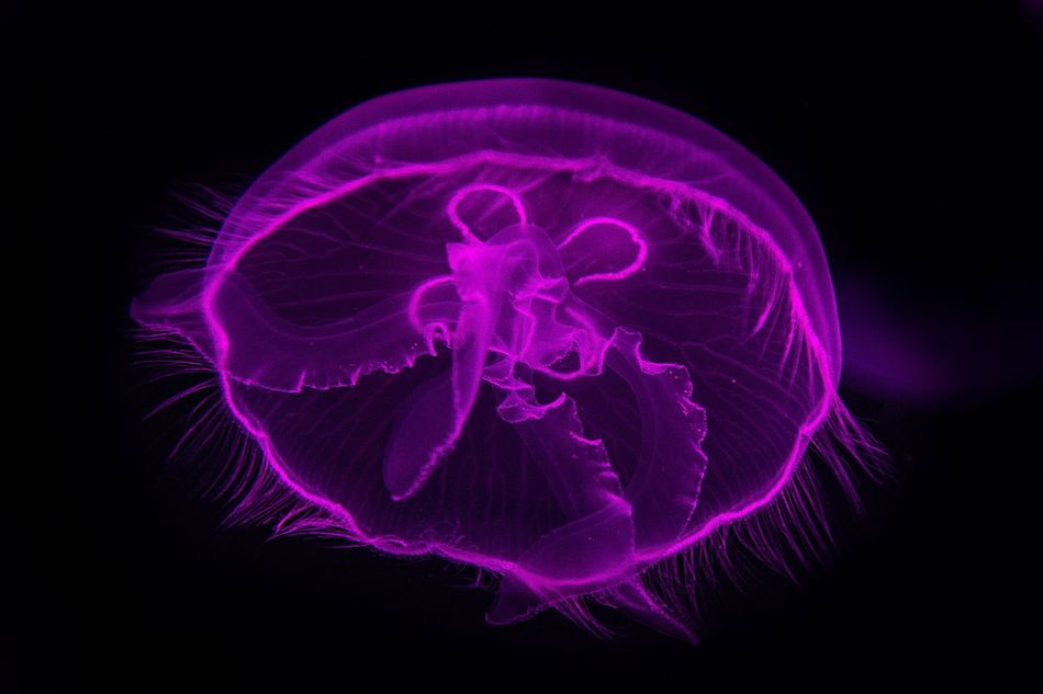 Jellyfish Glowing Neon Aquarium Animals Underthesea Close-up Beauty In Nature Black Background Dubai