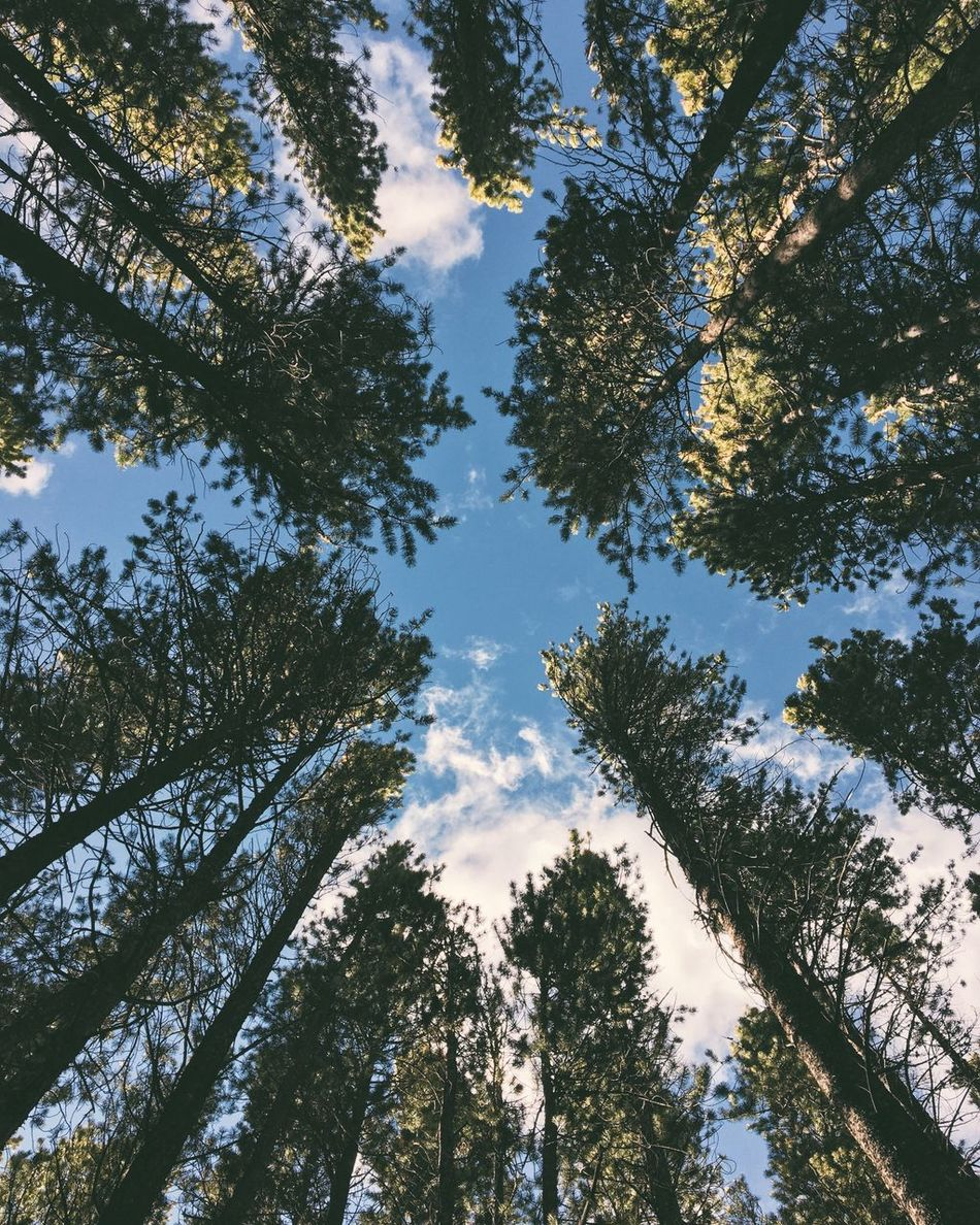 Between The Pine Trees Tree Nature Sky Beauty In Nature Low Angle View Growth Blue Tranquility No People Outdoors Scenics Day Branch Treetop Forest Into The Wild Flying High