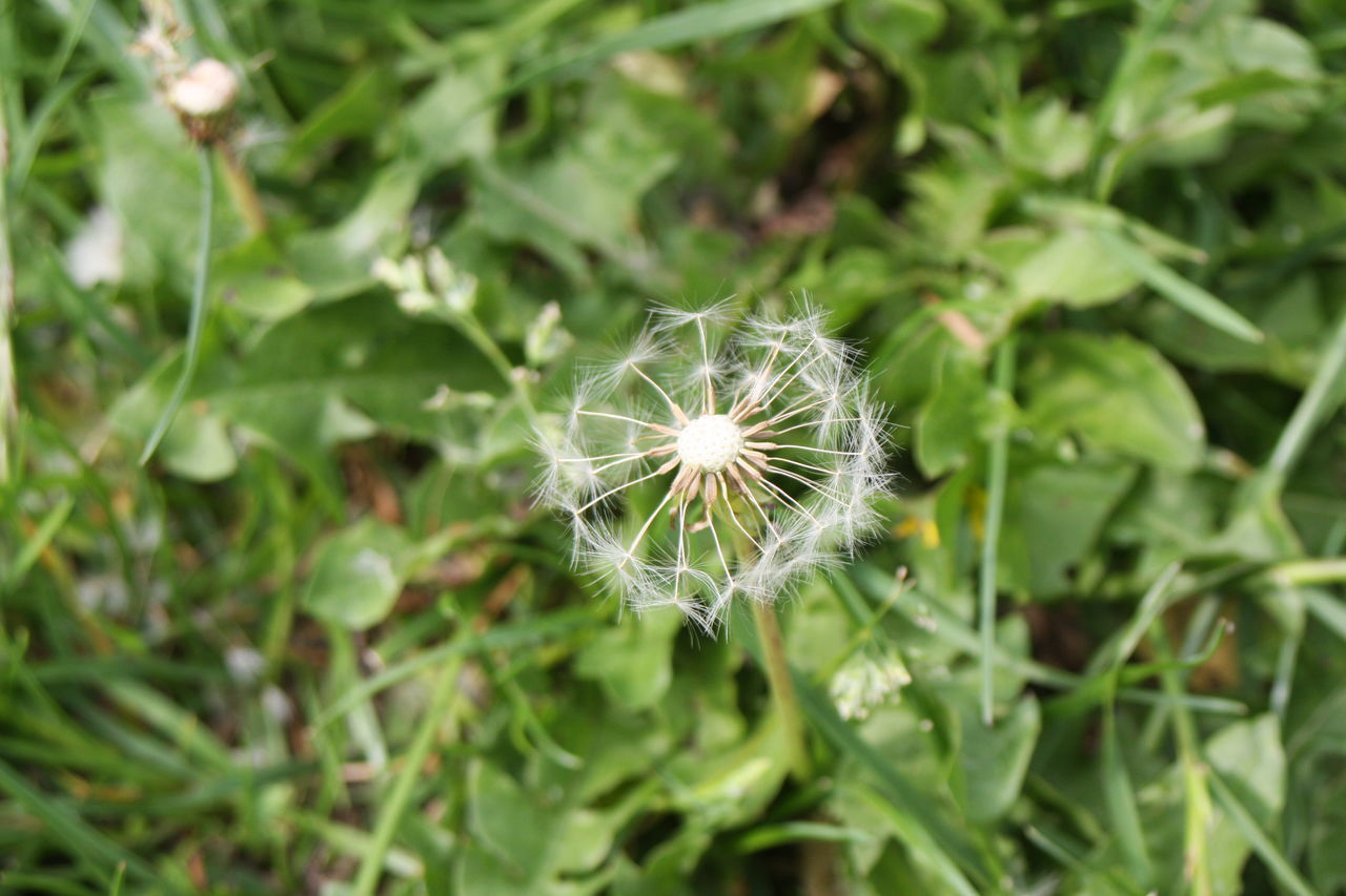 flower, growth, nature, dandelion, plant, fragility, beauty in nature, green color, flower head, freshness, outdoors, no people, day, close-up, blooming