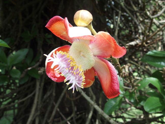 royal botanic garden of Sri Lanka Ayahuma Beauty In Nature Beauty In Nature Ceylan Ceylon Connonball Tree Couroupita Guianensis Flower Flower Head Nature Park - Man Made Space Peradeniya Petal Royal Botanic Garden Single Flower Sri Lanka