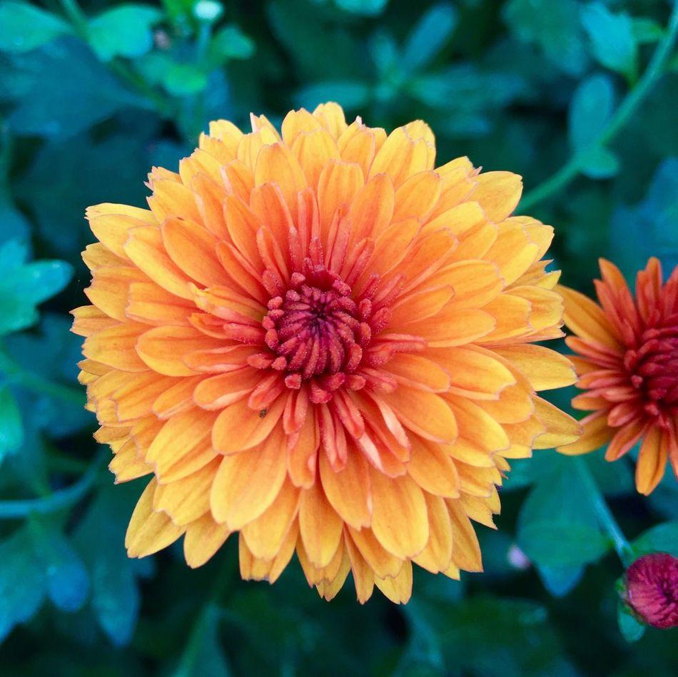 Autumn is coming Flower Flower Head Orange Color Mum