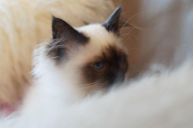 Sweet Liana Cat Cat Lovers Beautiful Sacredebirmanie Birman  France
