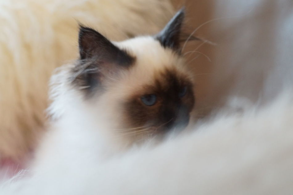 Sweet Liana Cat Cat Lovers Beautiful Sacredebirmanie Birman  France