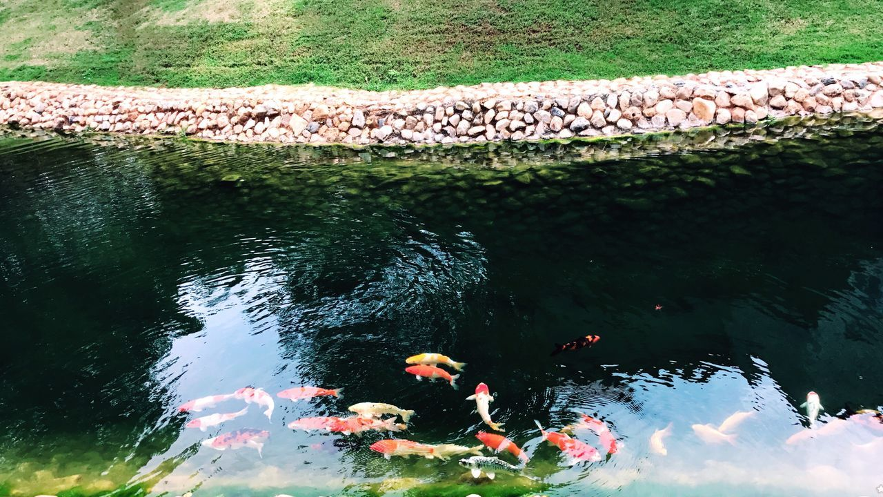 Animal Themes Animals In The Wild Water Koi Carp Carp Fish Nature Large Group Of Animals Outdoors Day No People Eyeemphotography High Angle View EyeEm Gallery EyeEm Eye4photography  Nakonratchasima Kaoyai Thailand Thailandtravel Nature