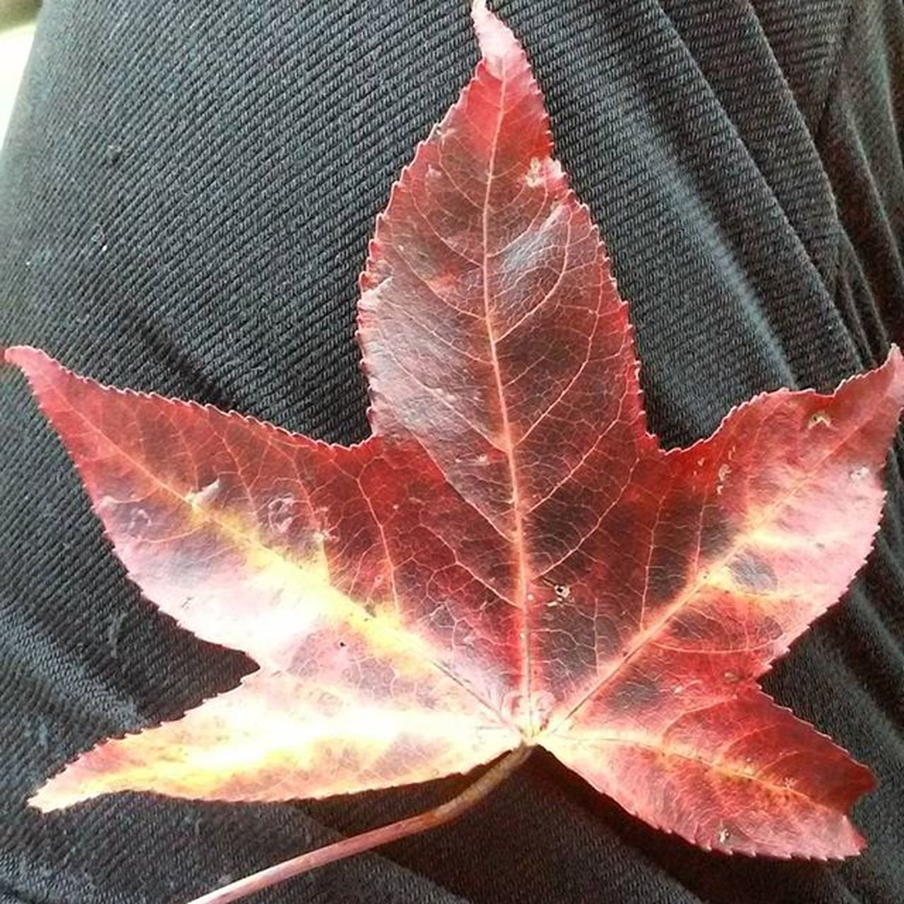 Found this gorgeous leaf on my morning walk! 🍁 Fall Autumn Leaves Fallleaves Myfavoriteseason Naturelover Fallcolors