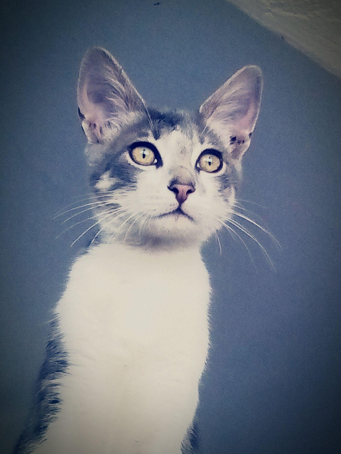 Gato azul, Cats , My Cats , Animal Photography