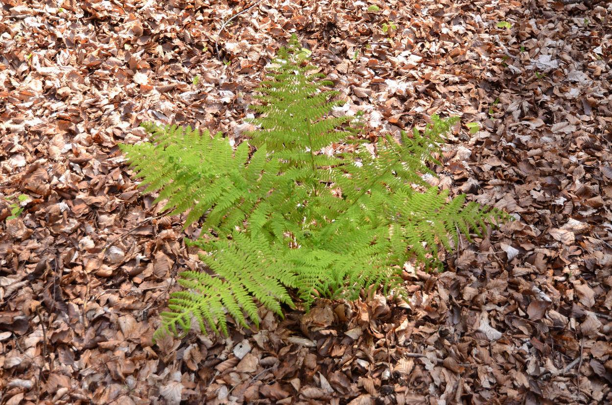 Fern Forest Floor Growth Leaf Carpet Outdoors Plant Splash Of Green
