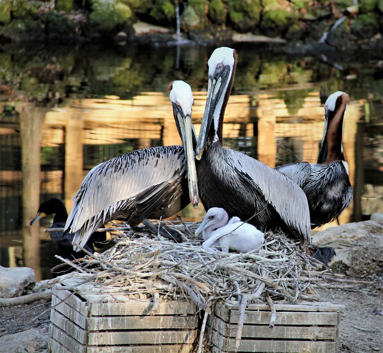 PELICAN FAMILY Animal Family Animal Photography Animal Themes Animal Wildlife Animals Animals In The Wild Animals In The Wild Bird Bird Photography Birds Day Feeding  National Geographic Nature Nature Nature Photography Nature_collection Nest No People Outdoors Pelican Pelicans Wildlife Wildlife & Nature Wildlife Photography