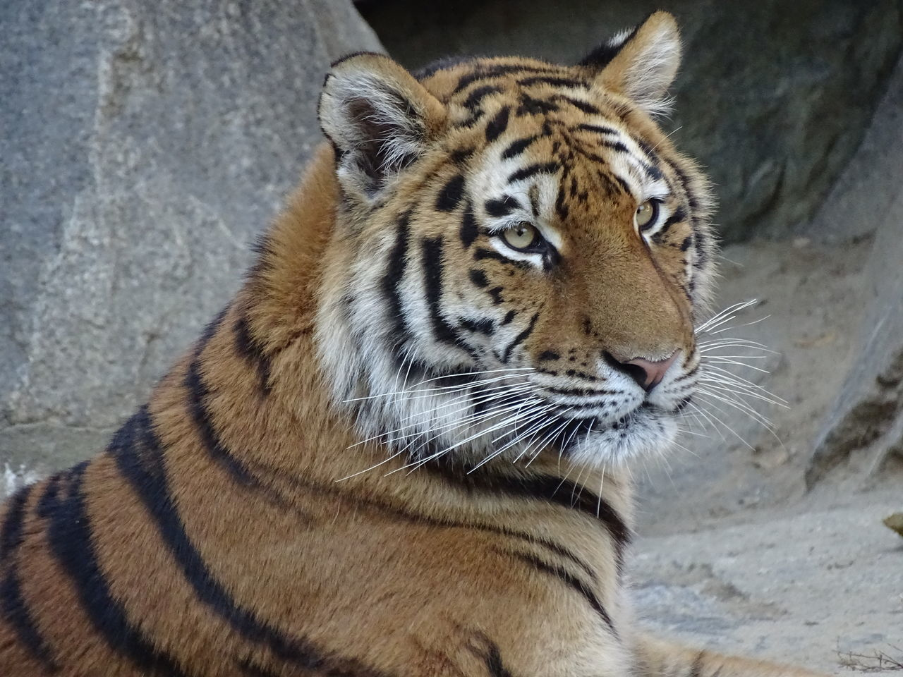 one animal, animals in the wild, animal wildlife, animal themes, tiger, no people, day, outdoors, close-up, nature, mammal