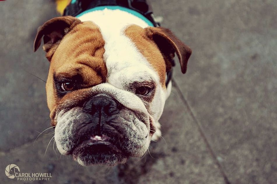 Met this character down by the London tower bridge!! Eeeeeee look at his cute little face Pet Photography  Wolfe Does UK Pets Corner I Love Dogs Nikon Bulldog London