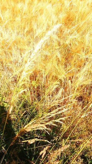 Golden fields of barley Barley Field Fields Of Gold Brunswick Braunschweig