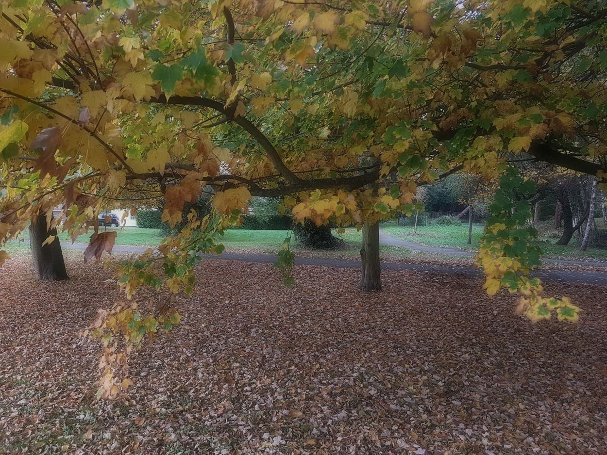 Autumn Leaves Sycamore Tree Acer Pseudoplatanus Carpet Of Leaves English Autumn November 2016 Poole, Dorset Quiet Scene Restful Place Silence Of Autumn