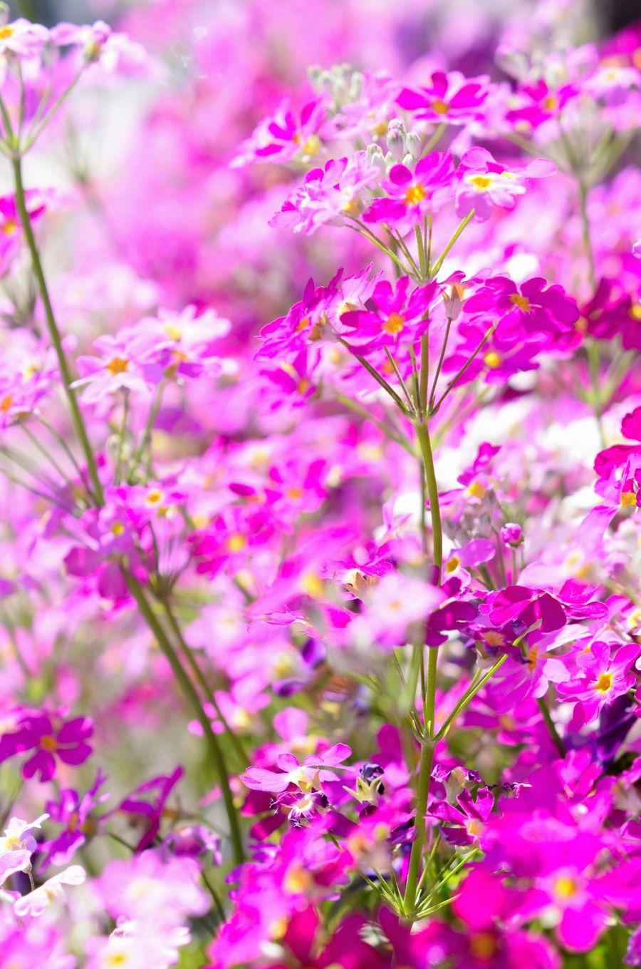 Primrose Pink Flower サクラソウ ピンク 花