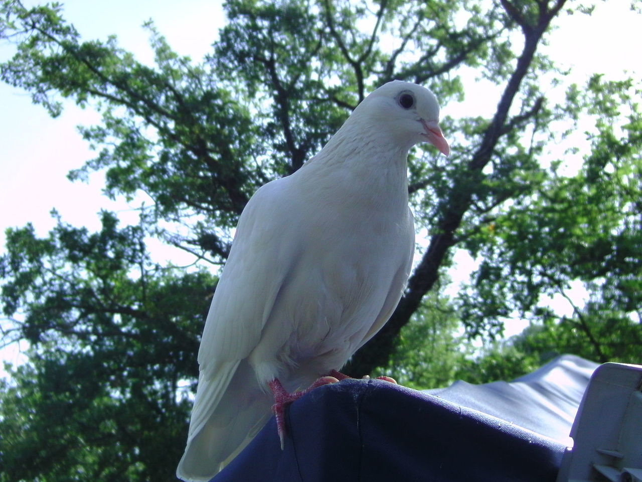 Beautiful stock photos of dove, Animal Themes, Animals In The Wild, Bird, Day