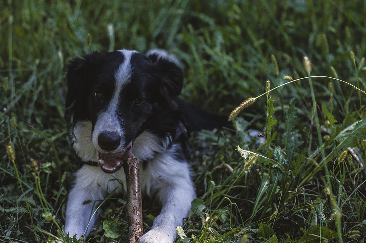 dog, domestic animals, pets, animal themes, grass, mammal, one animal, field, outdoors, no people, day, nature, sitting, close-up