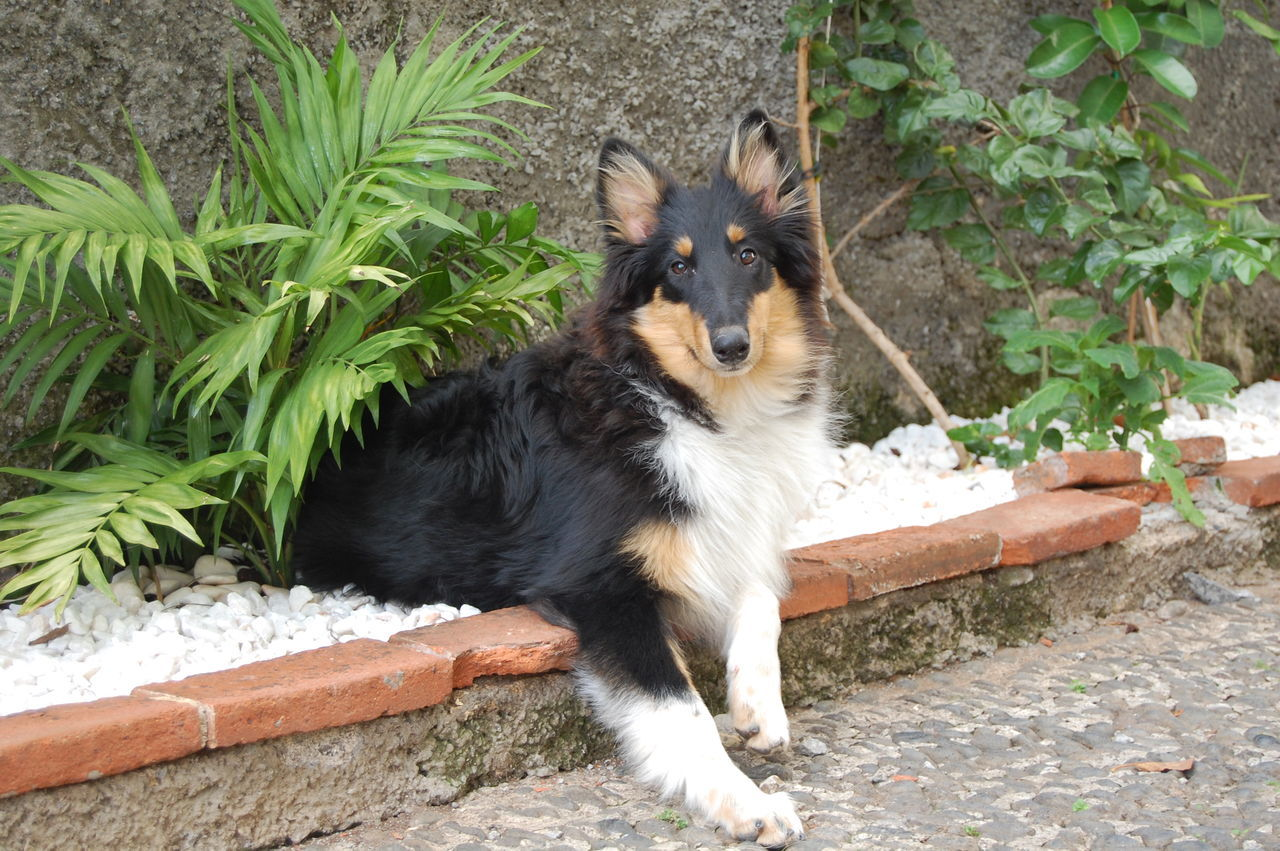 Animal Themes Day Daytime Dogs Domestic Animals Happy Dogs High Angle View Lassie Mammal Nature No People One Animal Outdoors Pets Plant Playtime Rough Collie Sunshine