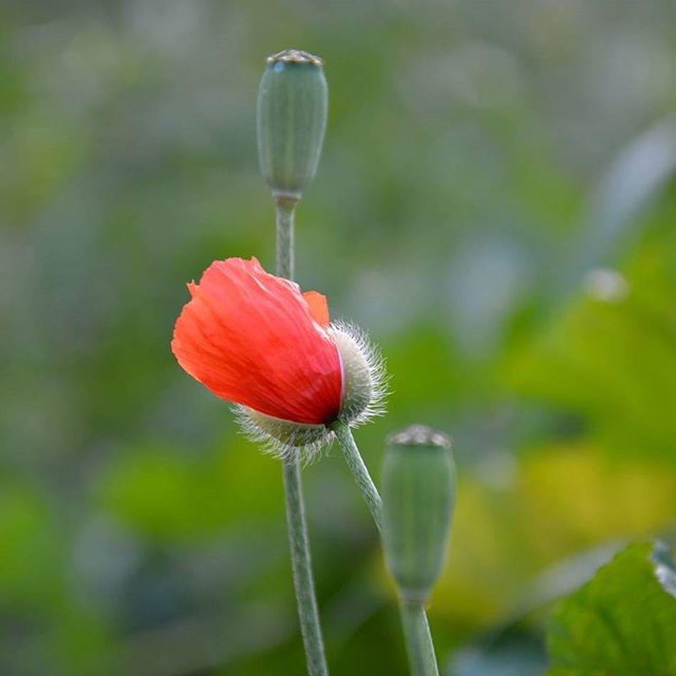 Tunisia Igertunisia Poppy Flower Spring Nature أيا هاو فال البوقرعون ... ربي يفرحنا بالربيع ... و نهارنا تحفون يا تحفونين :)