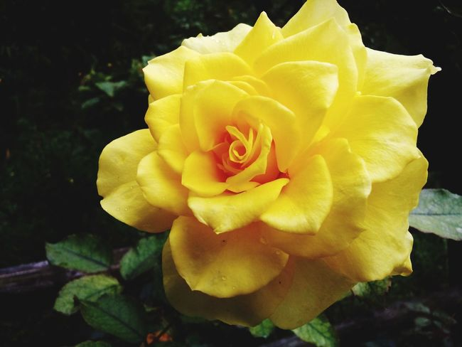 YellowRose My Country In A Photo