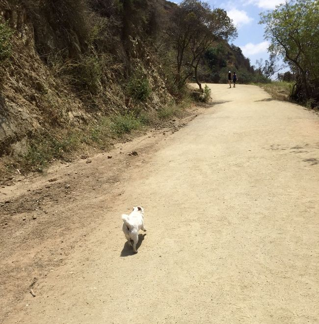 Cooper owning the mountain -first hike ❤️ Dogslife Chihuahua Chug Hikingadventures Dogs Of EyeEm Hikingdogs Freedom Cooper
