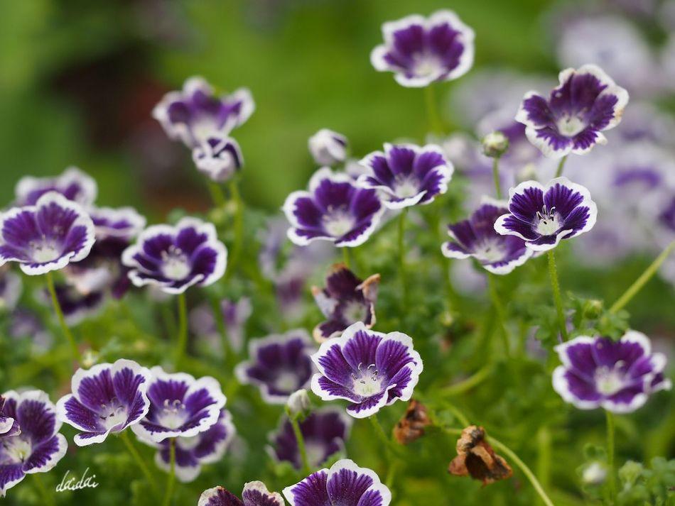 あたしたちもネモフィラなのよっ フルサイズの一眼が欲しくなってきたよ。。。 E-PL3 Noedit 花 Flower ネモフィラ 瑠璃唐草 ペニーブラック 海の中道海浜公園 Fukuokadeeps Bokeh