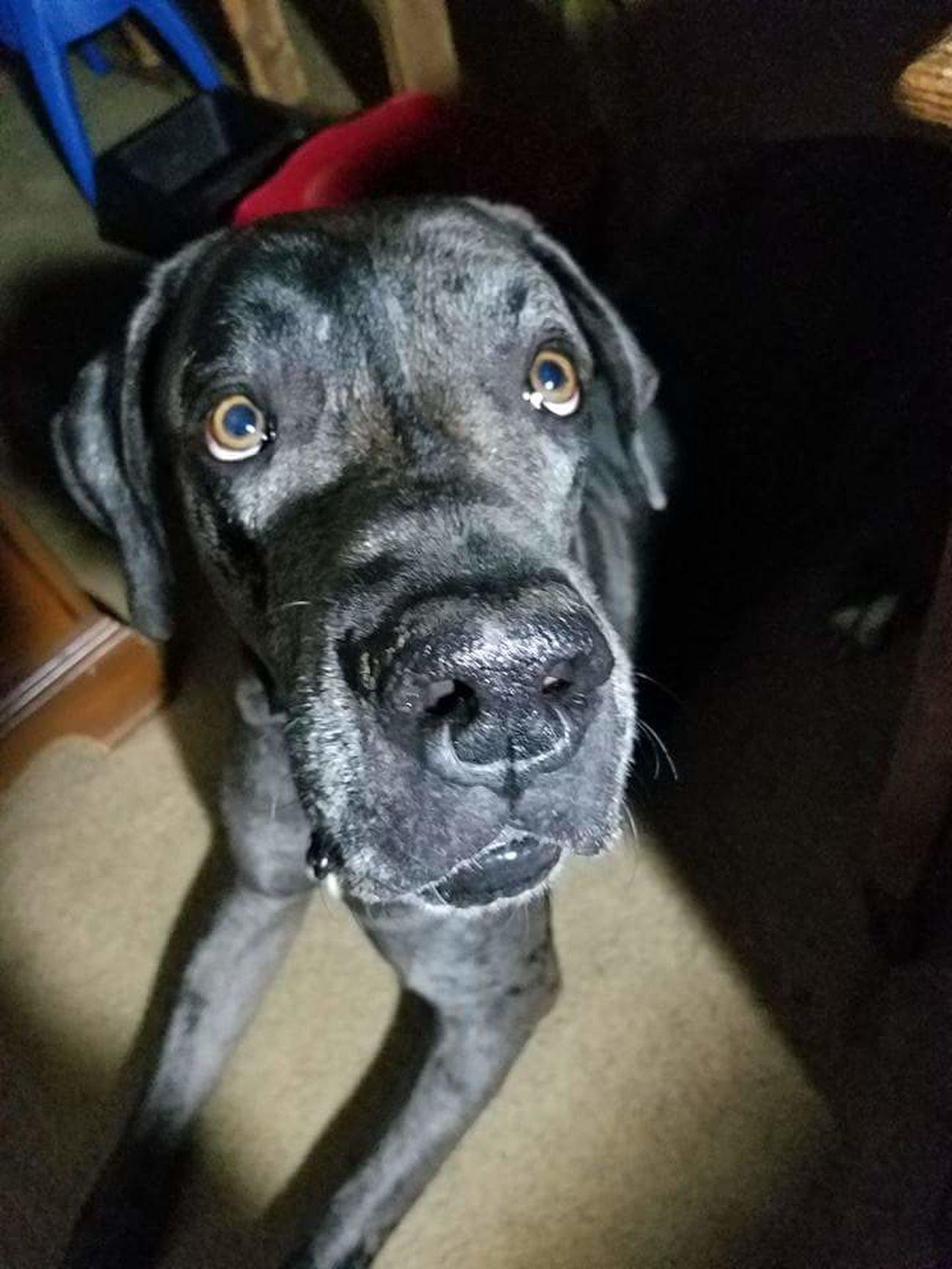 Jack the Great Dane Great Dane Dog Canine Giant Ujustgotkaied