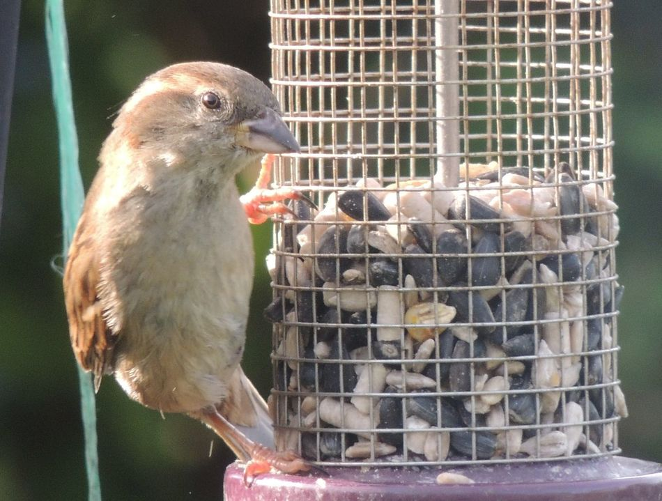 Animal Themes Animal Wildlife Animals In Captivity Bird Birds In My Garden Close-up Day Dunnock Feeding The Birds Feeding Time Focus On Foreground Nature No People Outdoors Perching