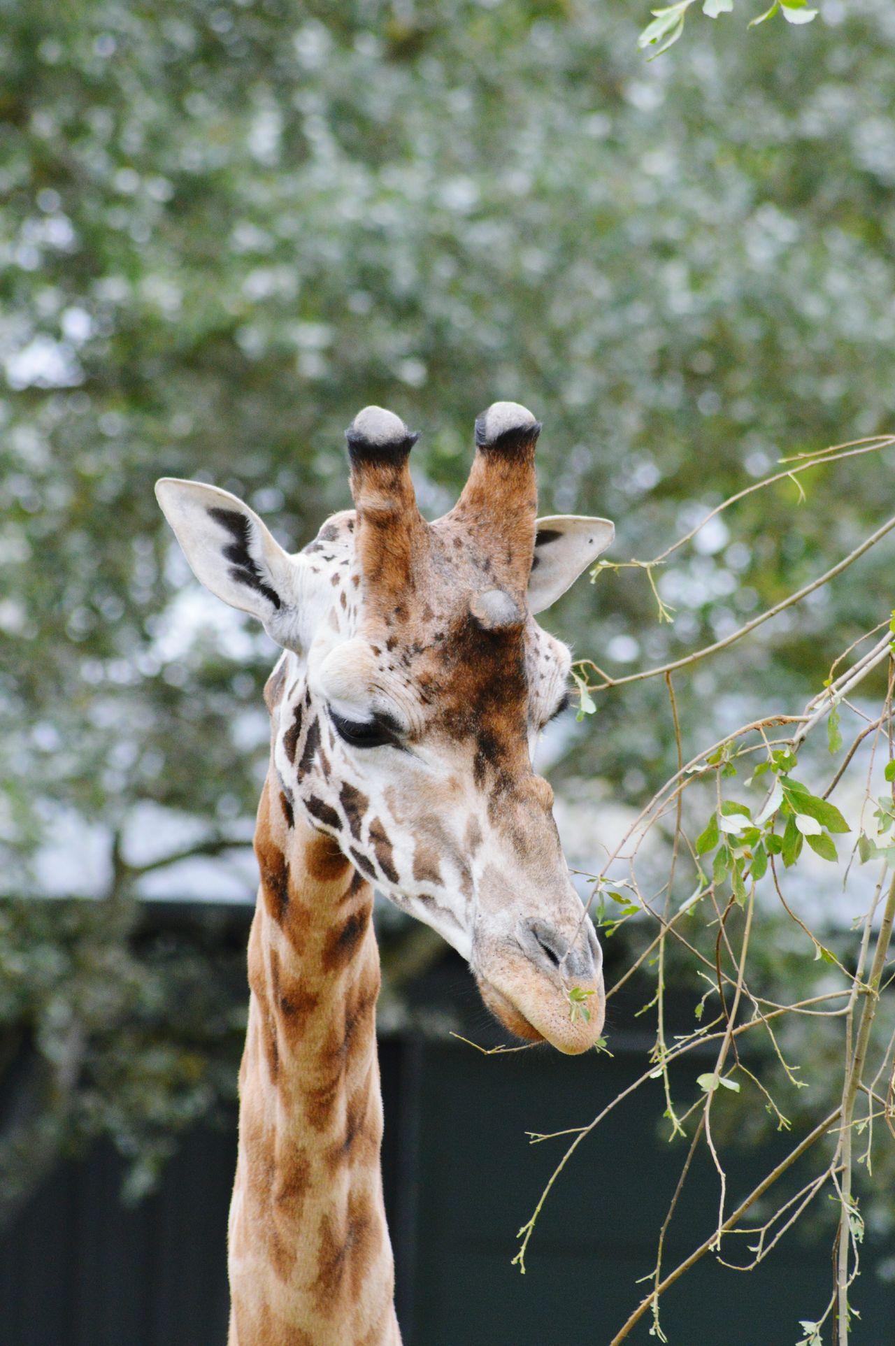Beautiful stock photos of giraffe, Animal Head, Animal Neck, Animal Themes, Animal Wildlife