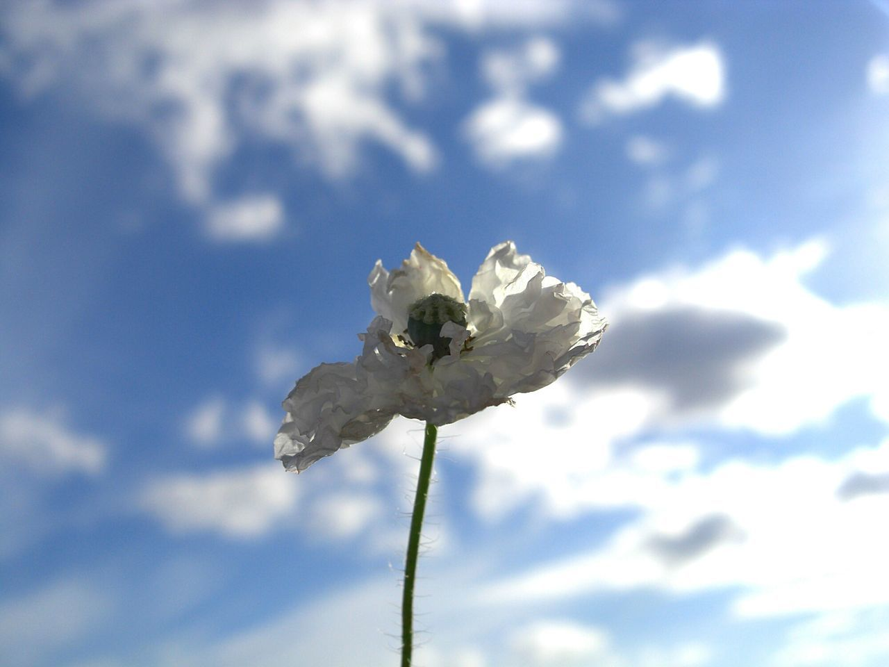 Poppy Pavot Coquelicot ポピー Sky CielBleu Cielo Azul Ciel Bleu 青い空