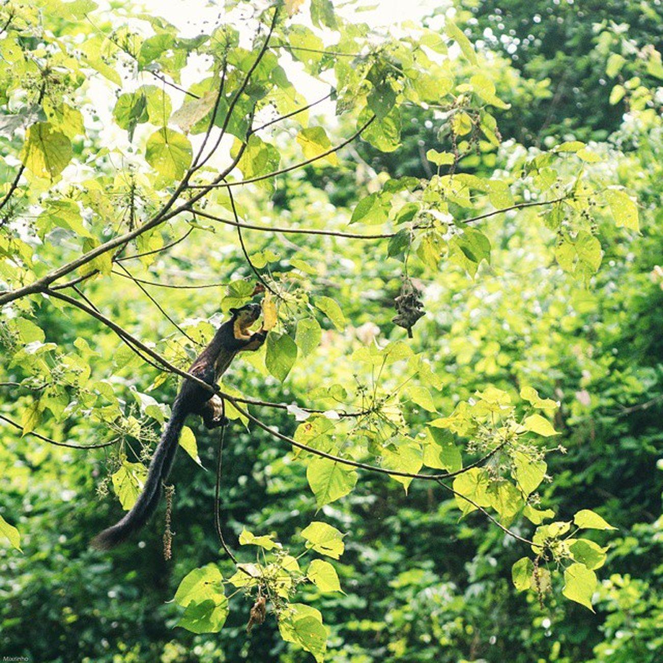 พญากระรอกดำใหญ่ Black giant squirrel Vscocam Wild Wildlifeplanet Wildlife Wildlifephotography Cute Animals Thailand Amzthld Igersth Nikonnofilter Nikonphotography Squirrel