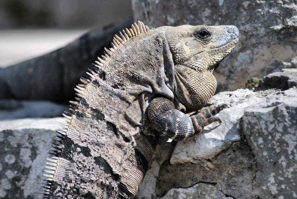 Reptile Animal Wildlife Lizard Nature Iguana Tulum , Rivera Maya.