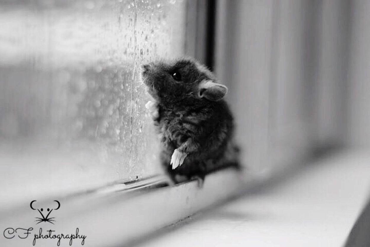 "Monochrome Photography a baby rat! Please check out my photography Facebook page ""CF photography"" Rats Rat Ratty Pet Pets Animal Animals Photo Photography Canon Canonphotography Canon Rebel T2i"