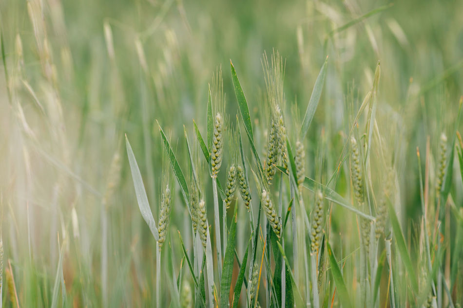 Agriculture Agriculture Beauty In Nature Cereal Cereal Plant Close-up Crop  Day Ear Of Wheat Field Grass Green Color Growth Nature No People Outdoors Plant Portugal Rural Scene Wheat Wheat Wheat Field