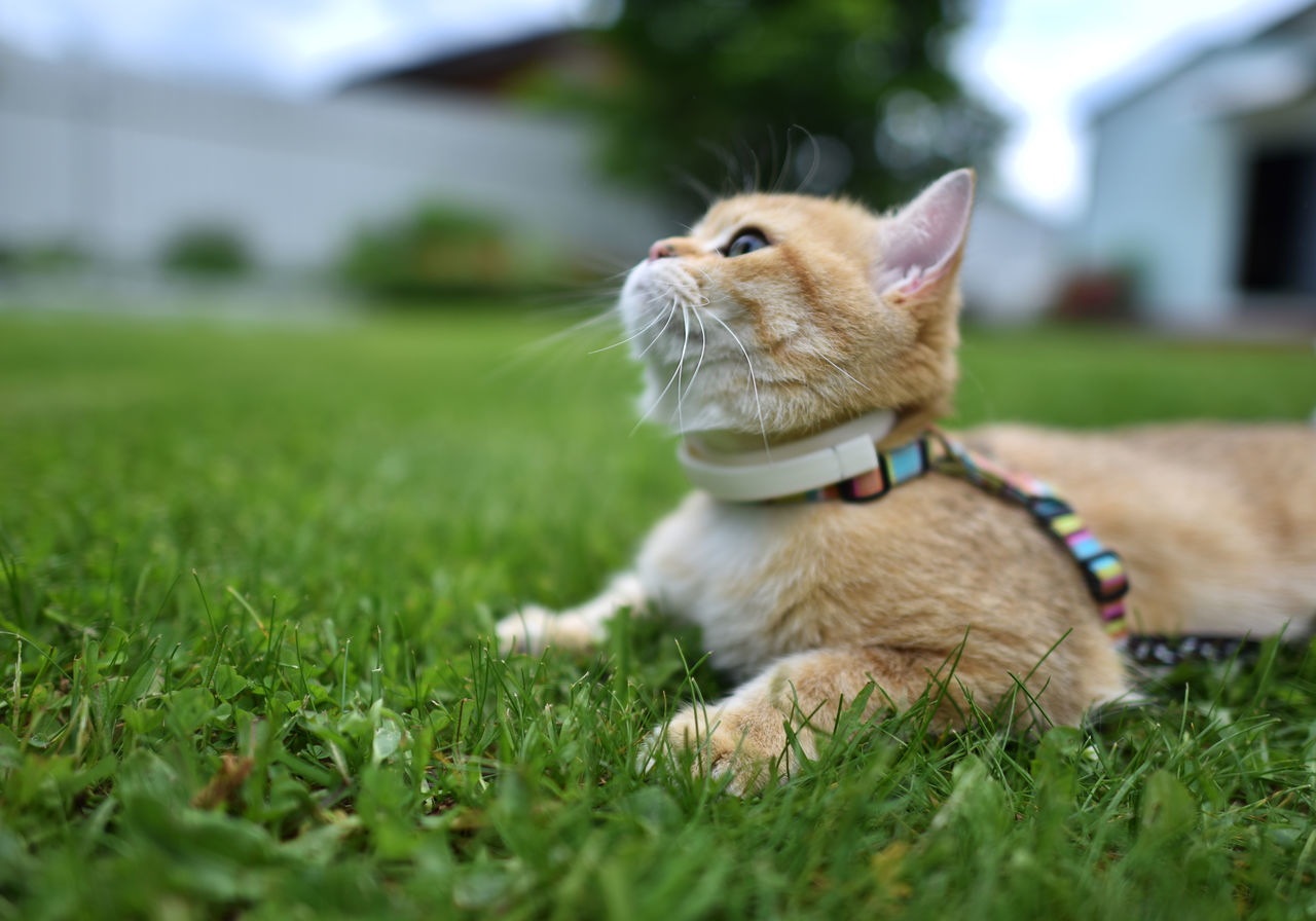 grass, pets, domestic animals, one animal, animal themes, mammal, field, green color, no people, outdoors, day, nature, close-up