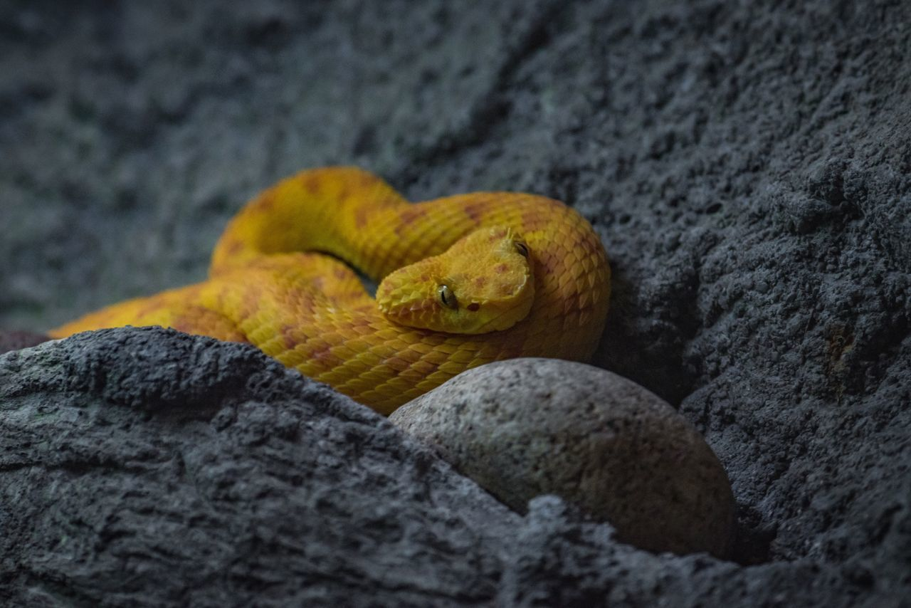 Viper Snake Yellow Reptile One Animal Animal Themes Close-up Animal Wildlife Animals In The Wild No People Nature Reptile Textured  Day Outdoors Beauty In Nature