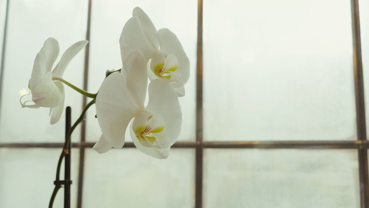 Beautiful stock photos of orchid, Beauty In Nature, Flower, Flower Head, Fragility
