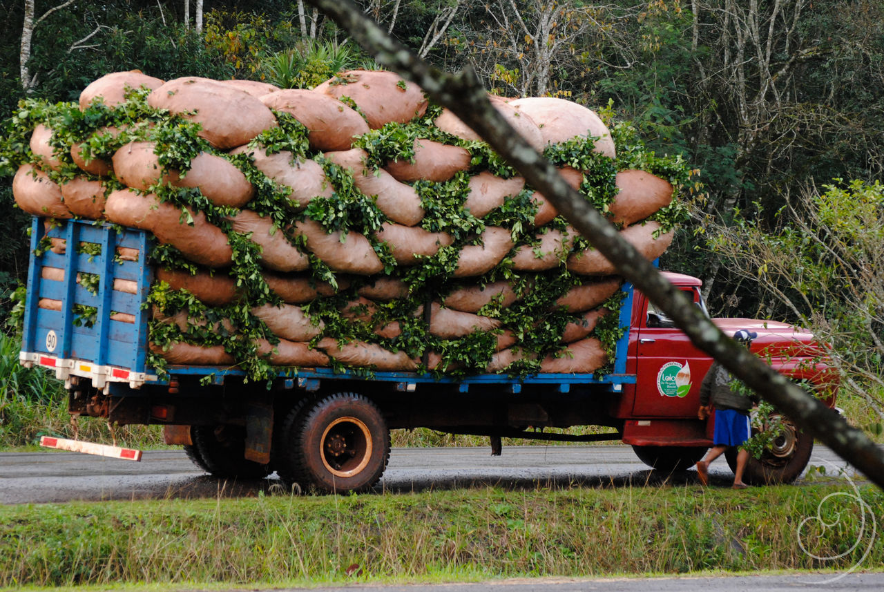 a truck full of mate Agriculture Country Countryside Day Growth Mate No People Old Things Outdoors Transportation Truck Trucks