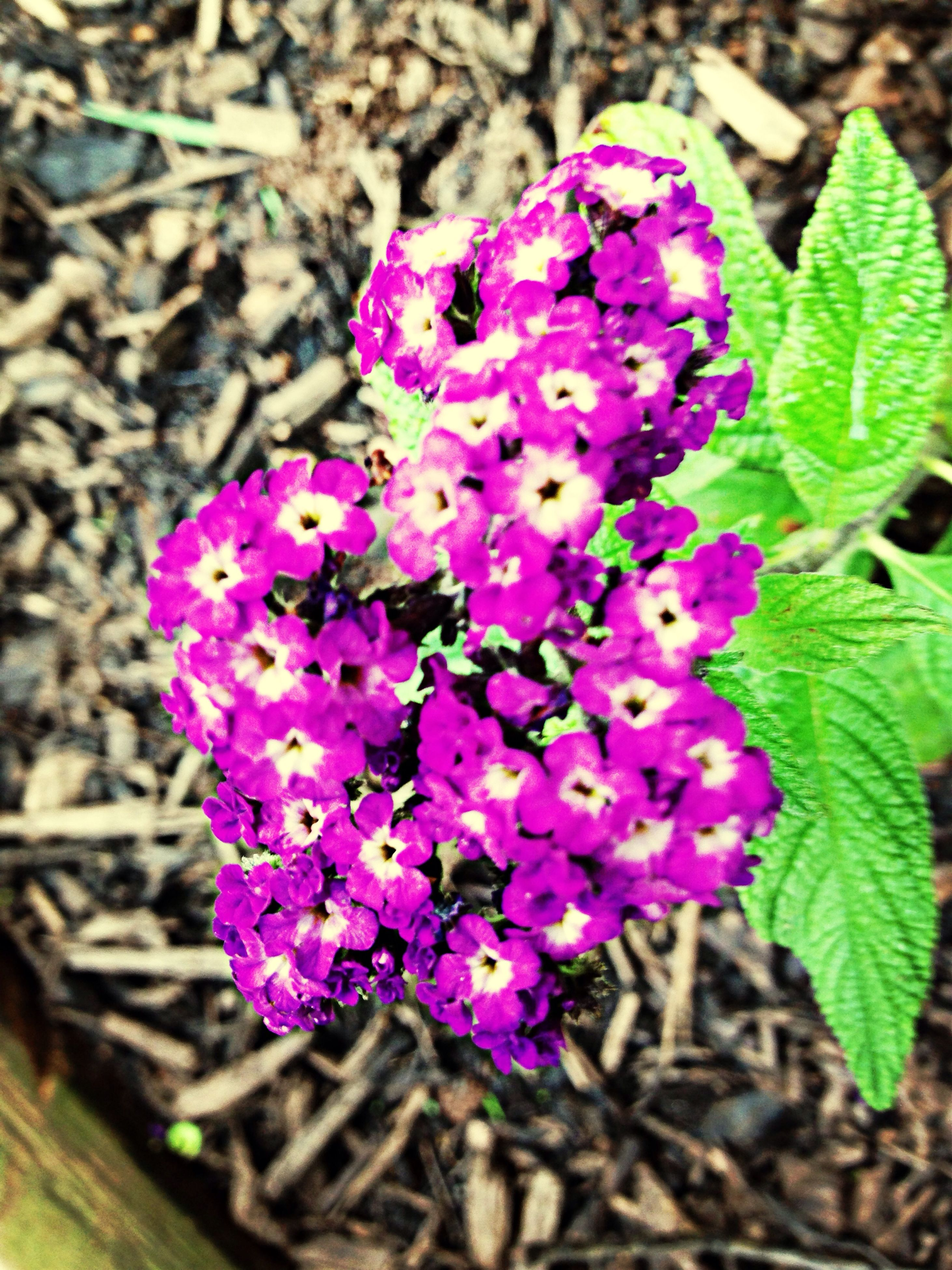 flower, purple, freshness, fragility, growth, petal, beauty in nature, flower head, close-up, plant, blooming, nature, focus on foreground, leaf, high angle view, in bloom, pink color, springtime, blossom, botany