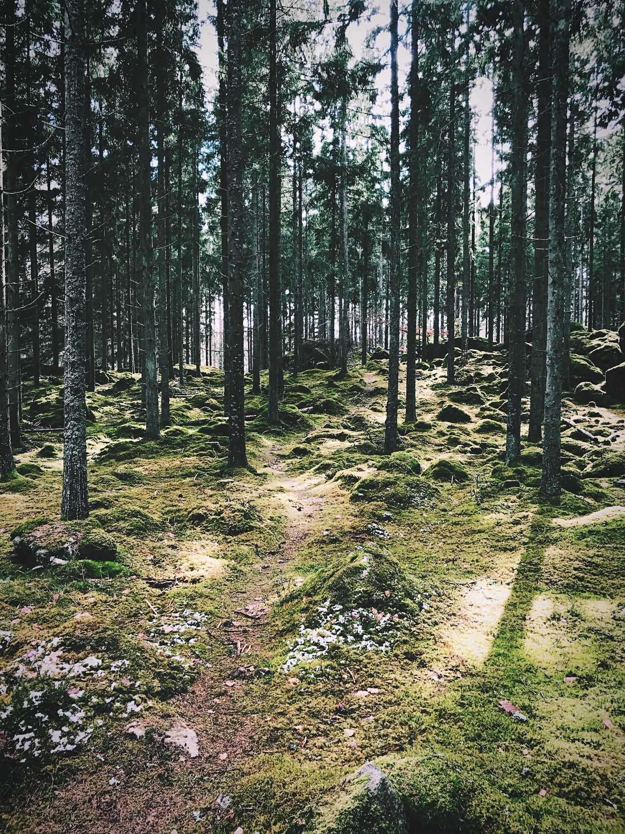 Path that leads into the deep forest. Forest Tree Trunk Nature Tree Tranquility Scenics Pinaceae Outdoors Tranquil Scene Beauty In Nature Landscape Day Pine Tree WoodLand No People Grass Growth Lush - Description Sky Tree Area Nature Photography Beauty In Nature Nature Trees Tree