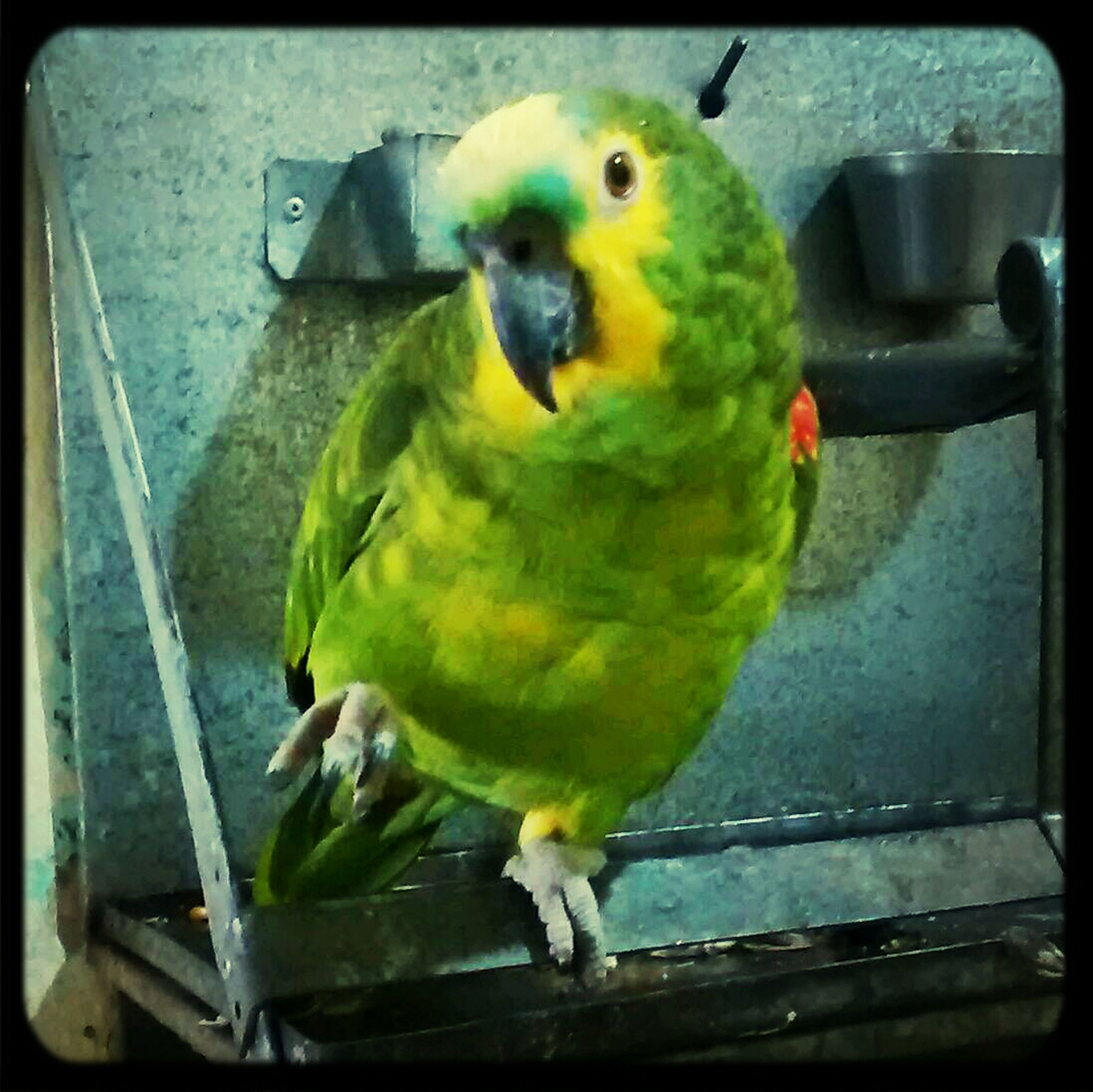 bird, animal themes, one animal, parrot, animals in the wild, wildlife, beak, perching, close-up, transfer print, indoors, auto post production filter, duck, yellow, full length, green color, multi colored, focus on foreground, two animals, day