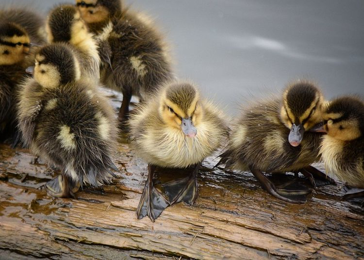 Animal Themes Animals In The Wild Beak Bird Close-up Day Duck Duckling Nature No People Perching Tranquility Wildlife Young Animal Zoology