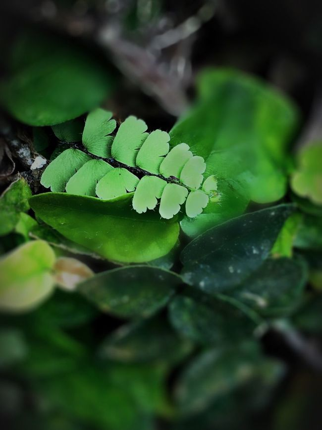Green Leaves Leaves_collection Garden Garden Photography EyeEm Nature Lover IPhoneography Iphoneonly Indonesia_photography Nature_collection