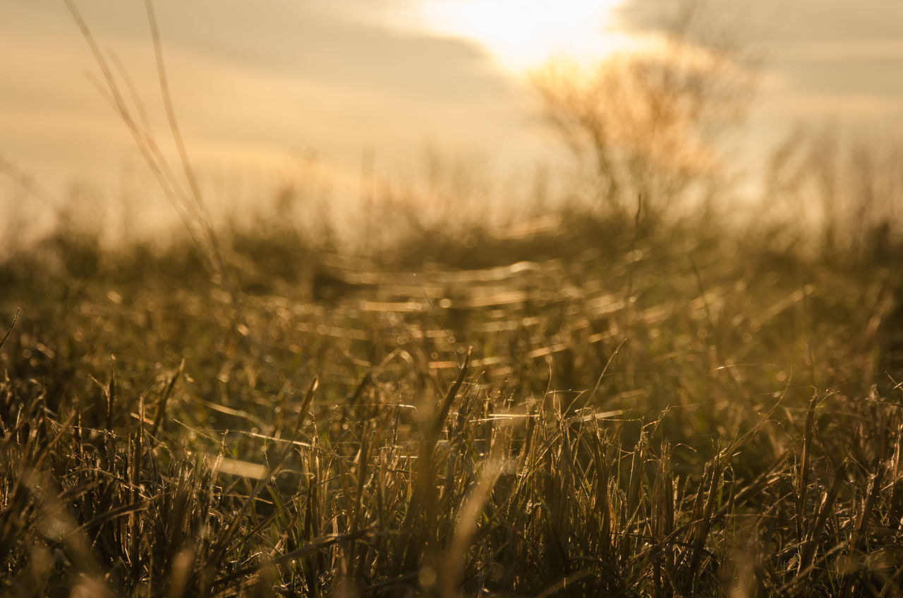 nature, field, grass, growth, tranquility, tranquil scene, no people, outdoors, beauty in nature, sunset, scenics, wheat, landscape, plant, day, close-up, rural scene, sky