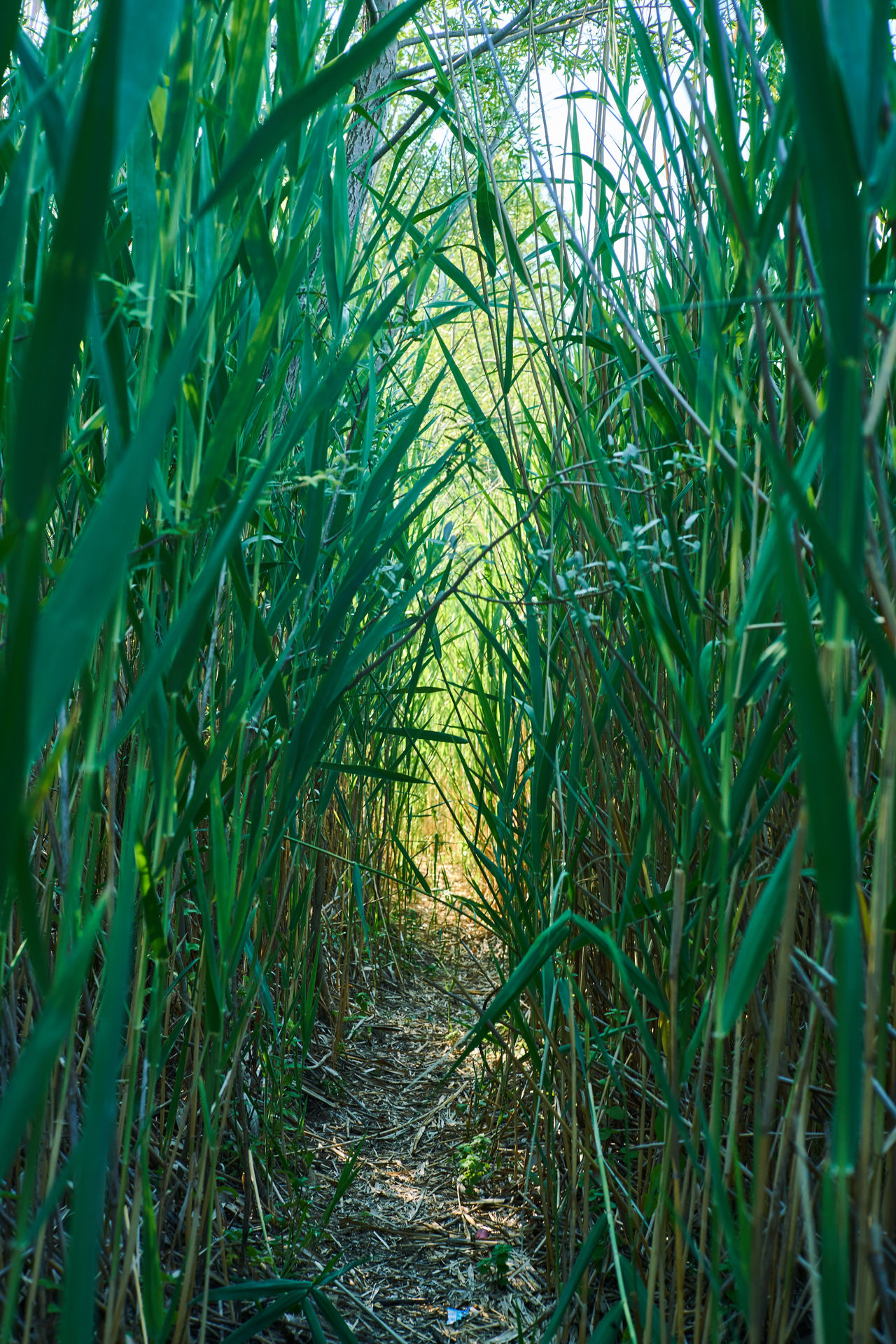 Cane Cane Thicket Canes Exit Sentier Swamp Tunel